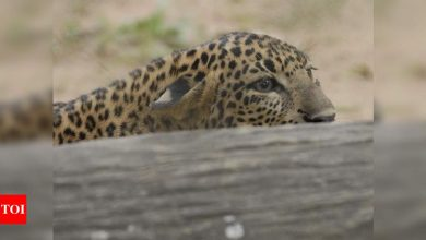 Photo of Mumbai: Search on for leopard noticed in Andheri's MIDC space | Mumbai Information