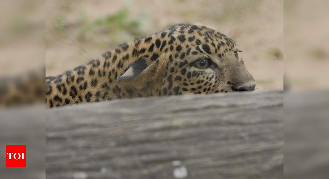 Mumbai: Search on for leopard spotted in Andheri's MIDC area | Mumbai News