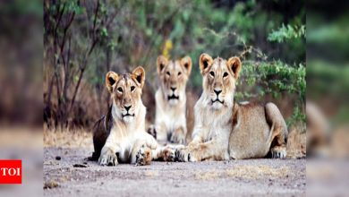 Photo of Gujarat: Lionesses in love depart delight sans prejudice | Ahmedabad Information